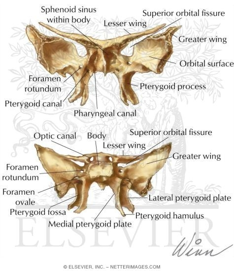 bones of the skull diagram images. explore skull diagrams, Human Body