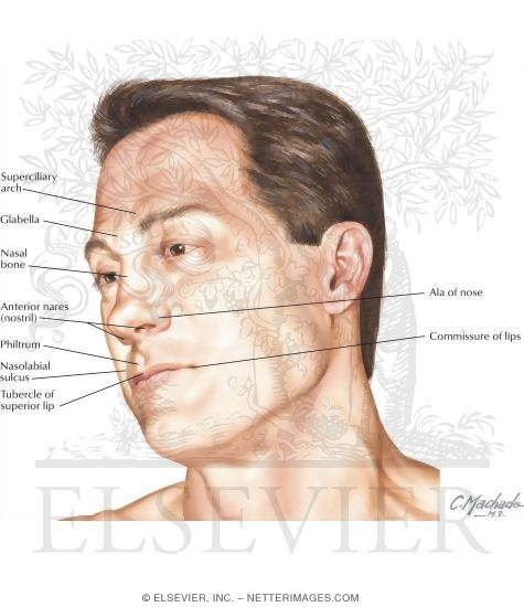 Lip Anatomy Diagram External Nose Find Wiring Diagram