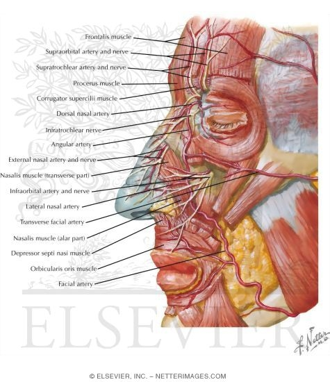Vascular Supply of the Nose