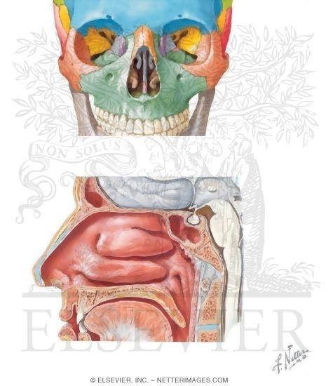 Anatomy Of The Nasal Cavity