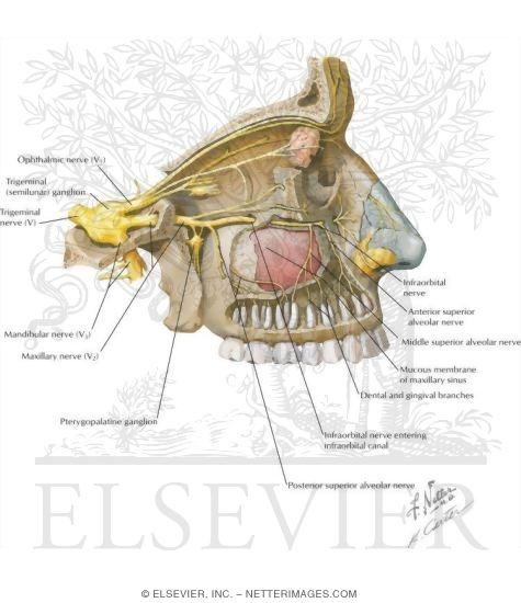 Maxillary Sinus: Nerve Supply