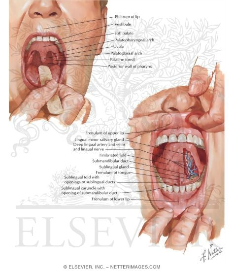 Anatomy of Oral Cavity PDF http://www.netterimages.com/product/9781929007882/13-344.htm