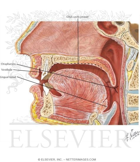 external anatomy of the oral cavity, Sphenoid