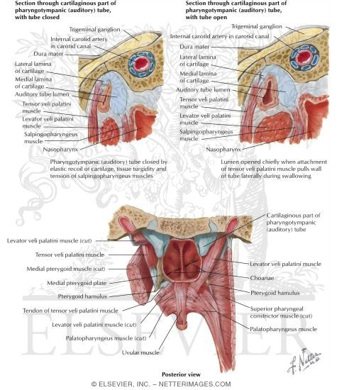 Boundaries of the Oral Cavity: Posterosuperior Border - Soft Palate