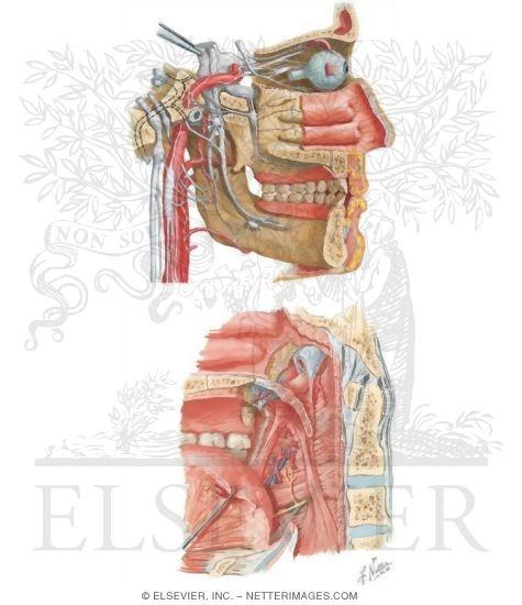 Illustration of Sensory Innervation of the Mandibular Teeth from the Netter Collection