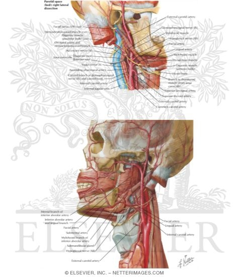 Vascular Supply of the Tongue: Arterial Supply