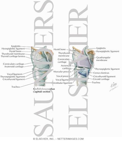 larynx anatomy netter - photo #48