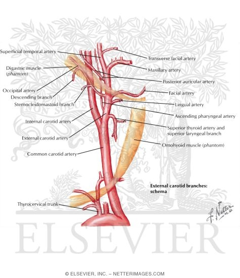 Illustration of Arterial Supply of the Inner Ear from the Netter Collection