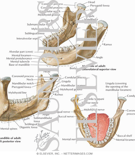 Mandibular Injections: Innervation and Osteology Landmarks