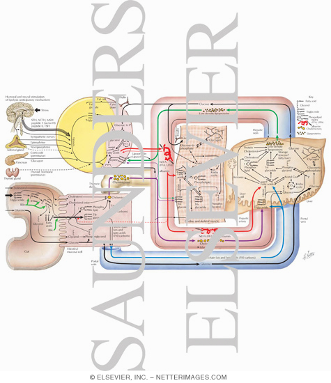 Triglyceride Metabolism - Netter Medical Artwork
