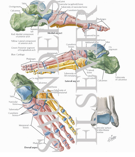 Ankle Bone Structure Bones of Ankle And Foot