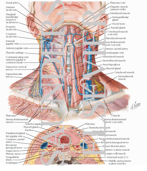 Of The Thyroid And Parathyroid Glands Superficial Veins And
