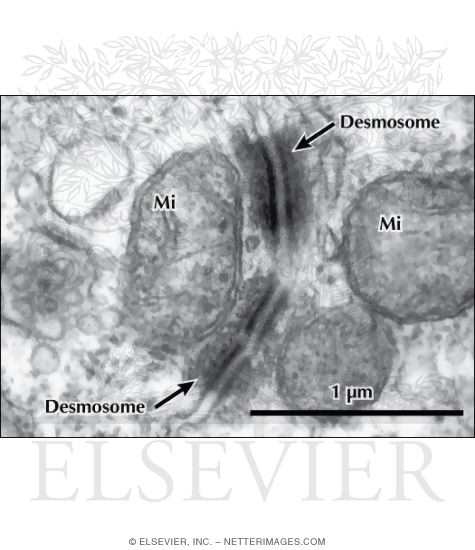 Electron Micrograph of Desmosomes Between Adjacent Epithelial Cells In the Kidney