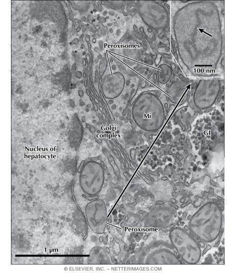 Electron Micrograph of Peroxisomes In the Liver