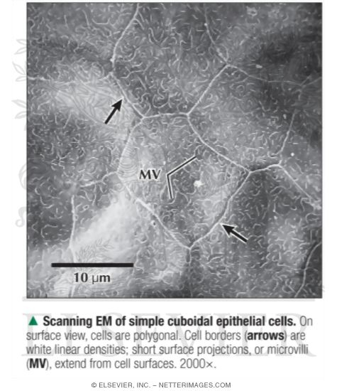 Scanning Electron Micrograph of Simple Cuboidal Epithelial Cells