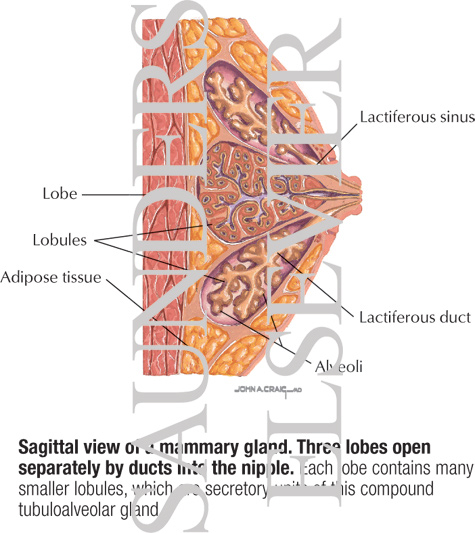 Sagittal View of a Mammary Gland