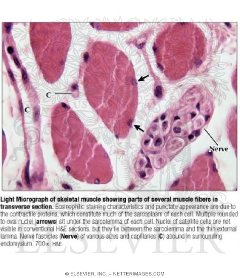 Micrograph Of Skeletal Muscle Showing Parts Of Several Muscle Fibers