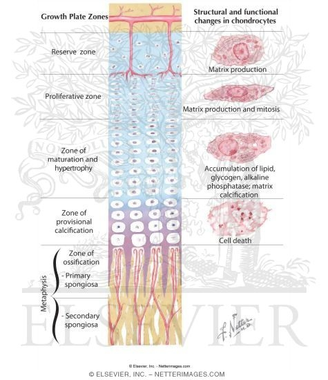 Old Fashioned Growth Plate Anatomy Elaboration - Anatomy And ...