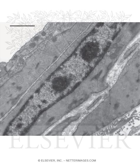 Electron Micrograph of the Wall of an Arteriole