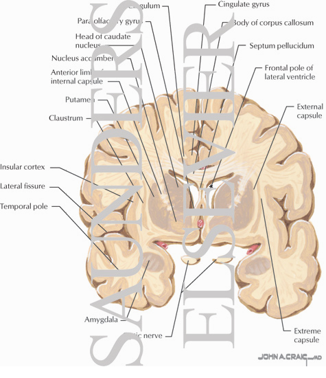 Coronal Forebrain Sections (Level 2 of 10)