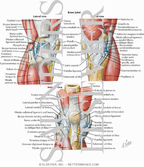 Joint Lateral Medial And Anterior Views