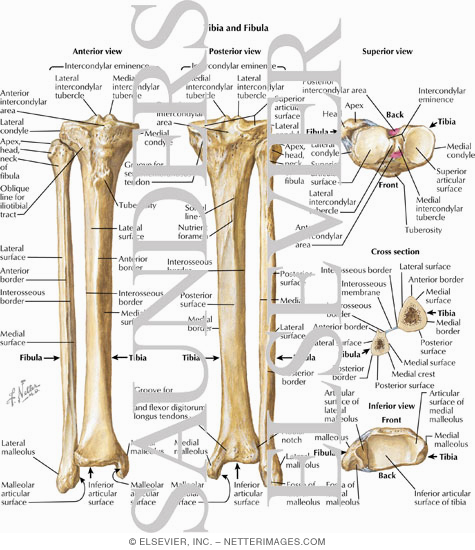 Tibia and Fibula Osteology of the Leg and Knee