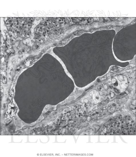 Electron Micrograph of Part of a Sinusoidal Fenestrated Capillary In the Posterior Lobe