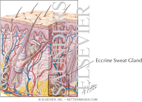 Micrograph of an Eccrine Sweat Gland In the Dermis