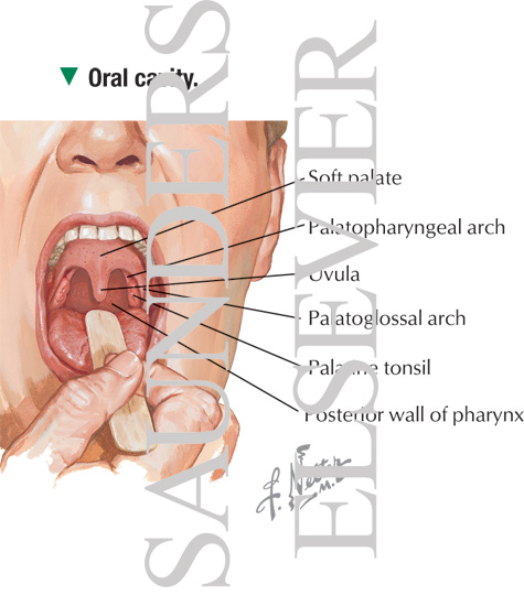 Anatomy of Oral Cavity PDF http://www.netterimages.com/image/14284.htm