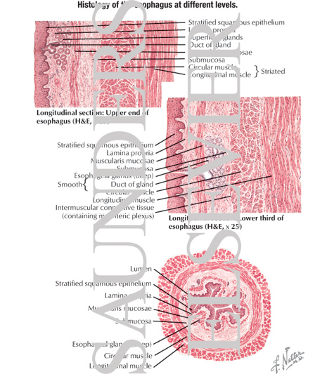 Histology of the Esophagus at Different Levels