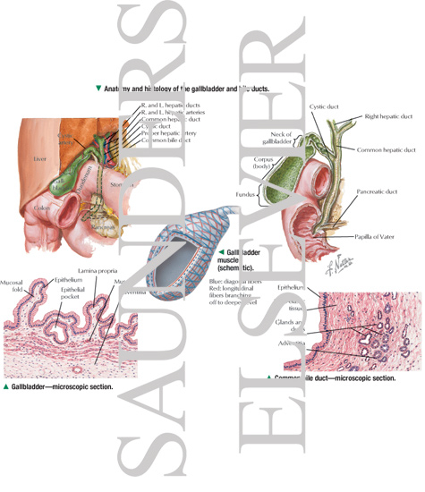 common bile duct anatomy. Common bile duct—microscopic