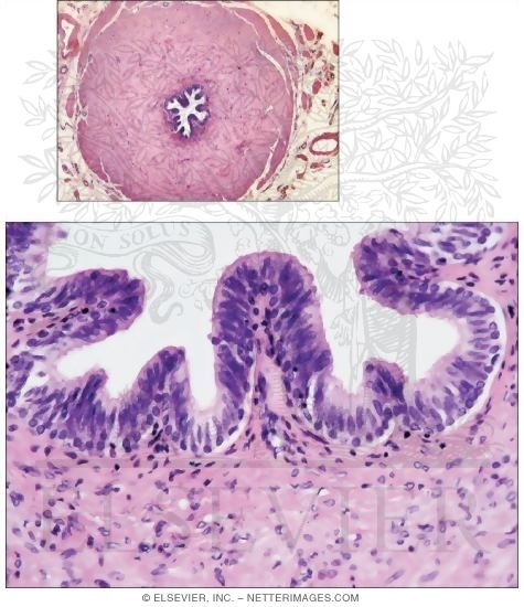 Light Micrograph of the Ductus Deferens In Transverse Section With Higher Magnification Light