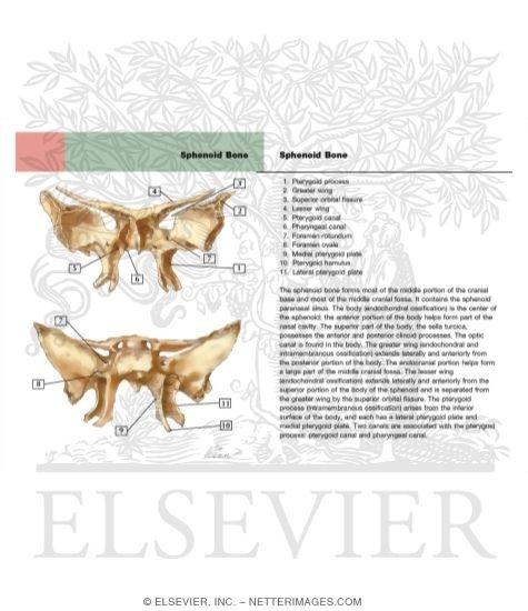 bones of the skull: sphenoid bone, Human Body