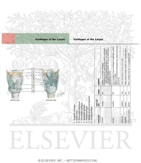 larynx anatomy netter - photo #47