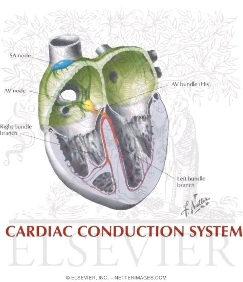 Illustration of Cardiac Conduction System from the Netter Collection
