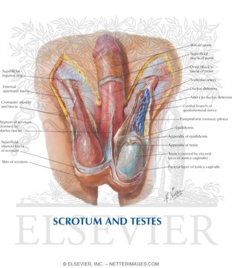 Abdominal Wall: Spermatic Cord