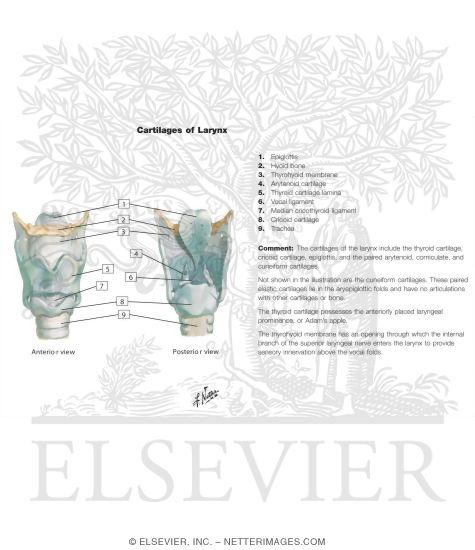 larynx anatomy netter - photo #17