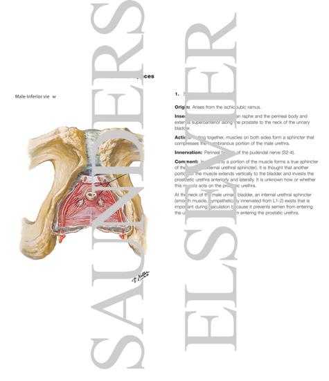 Urogenital Diaphragm Perineal Spaces