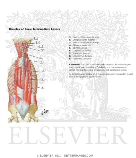 Muscles Of Back Intermediate Layers Spenius And Erector Spinae Muscles