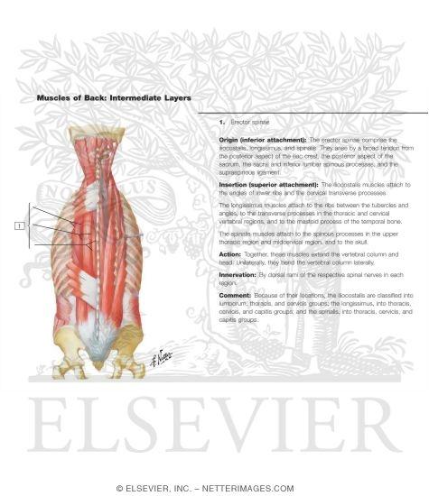 Erector Spinae Muscles Diagram 2018 Images Pictures Erector