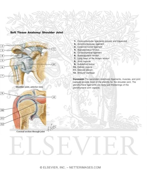 Illustration of Soft Tissue Anatomy: Shoulder Joint from the Netter Collection