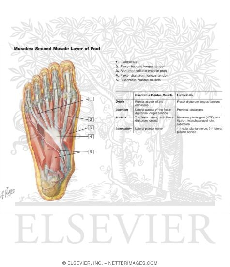 Muscles of Second Layer of Foot