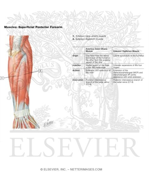 Muscles Of Forearm Superficial Layer Posterior View
