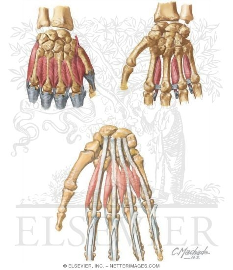 Muscles: Hand and FIngers