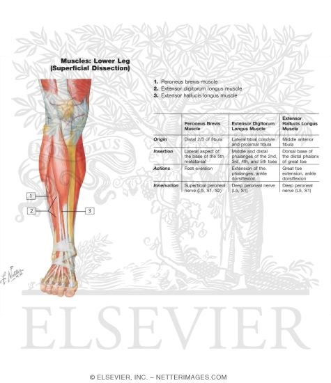 Muscles of Lower Leg (Superificial Dissection)