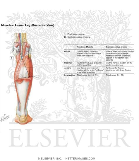 Muscles of the Lower Leg (Posterior View)