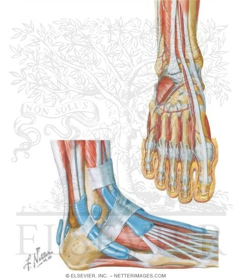 Tendons and Muscles of the Ankle and Foot