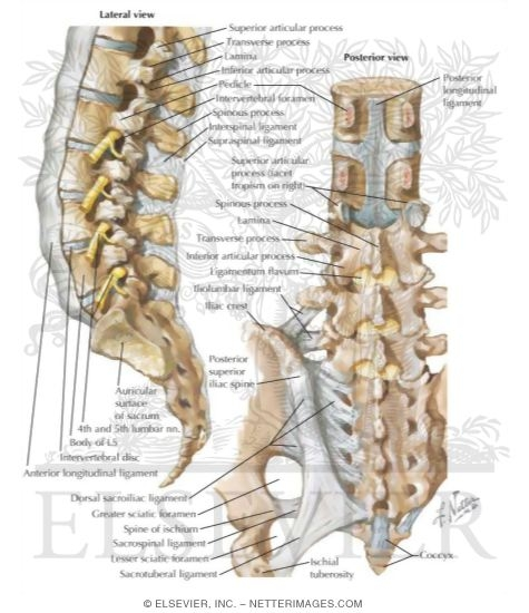 vertebral ligaments lumbosacral region