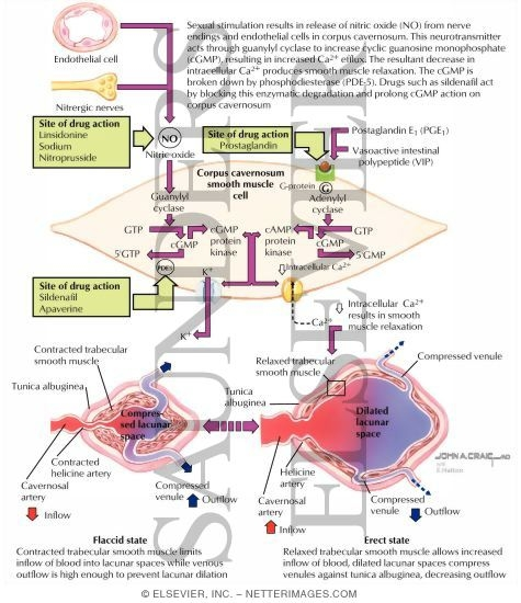 Erectile Dysfunction Cellular Mechanisms of Penile Smooth Muscle Relaxation