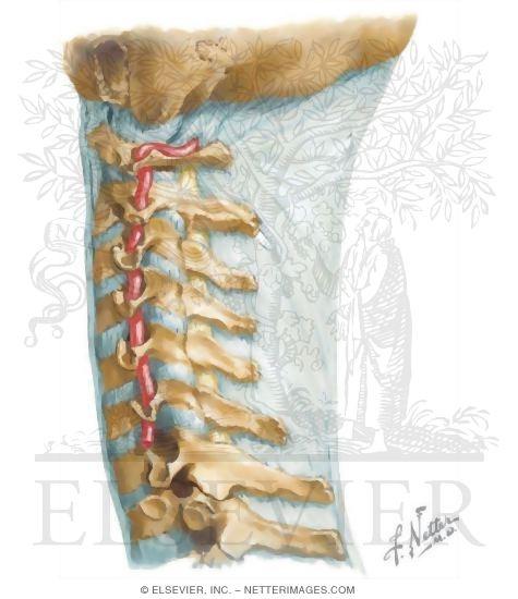 Artery Neck